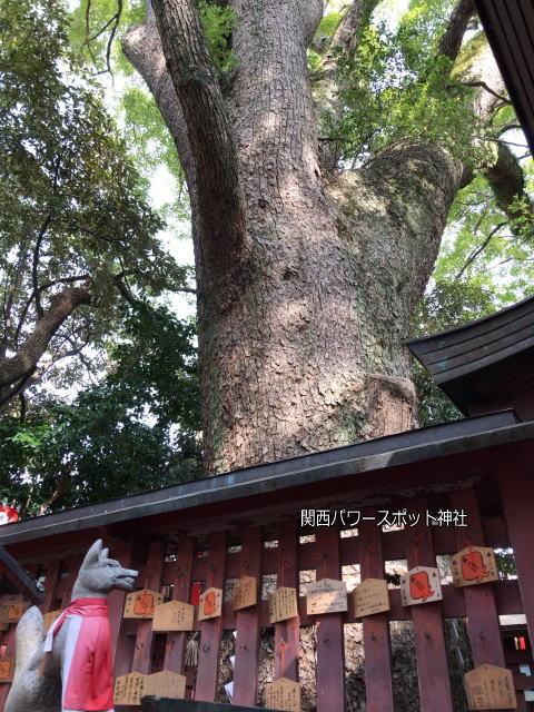 長田神社の末社「楠宮稲荷社」にあるクスノキ