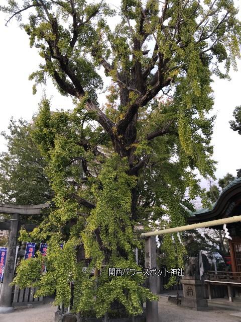 白山神社(大阪市)のいちょうの木